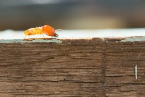 Are Baits or Liquid Barrier Treatments Better For Dealing With Termites?